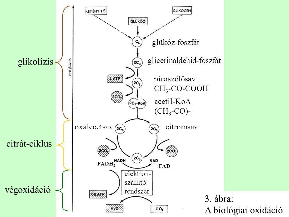 glükóz-foszfát glicerinaldehid-foszfát piroszőlősav CH 3 -CO-COOH acetil-KoA (CH 3 -CO)- citromsav FAD FADH 2 elektron- szállító rendszer oxálecetsav