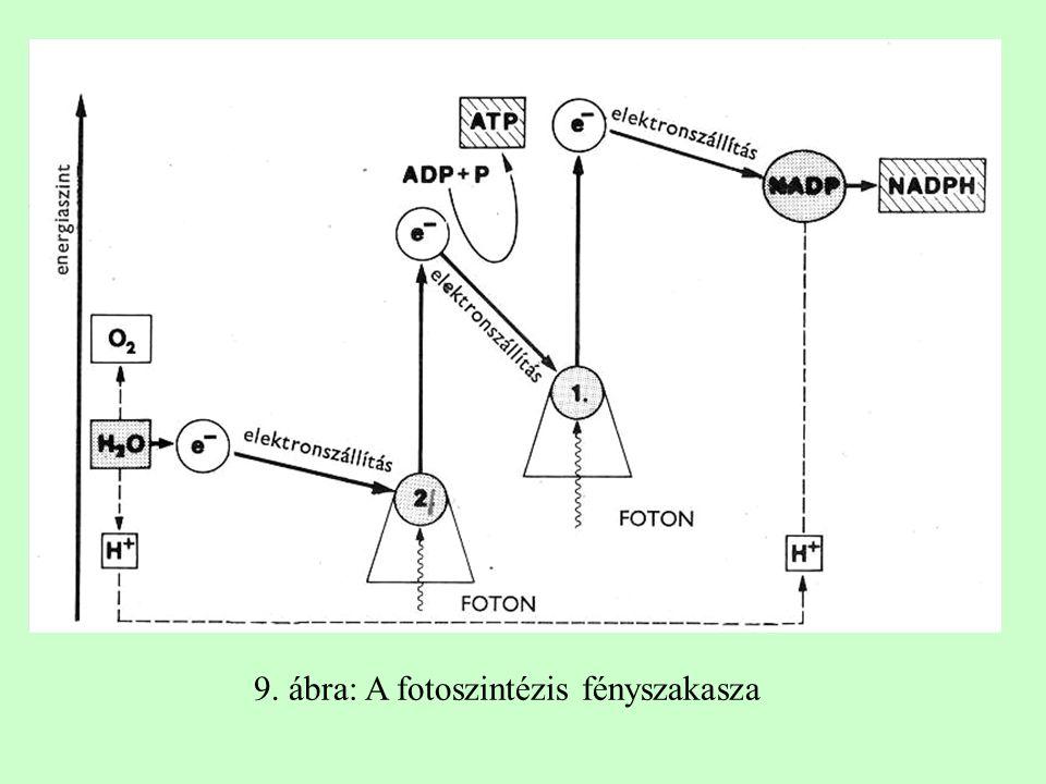 9. ábra: A fotoszintézis fényszakasza