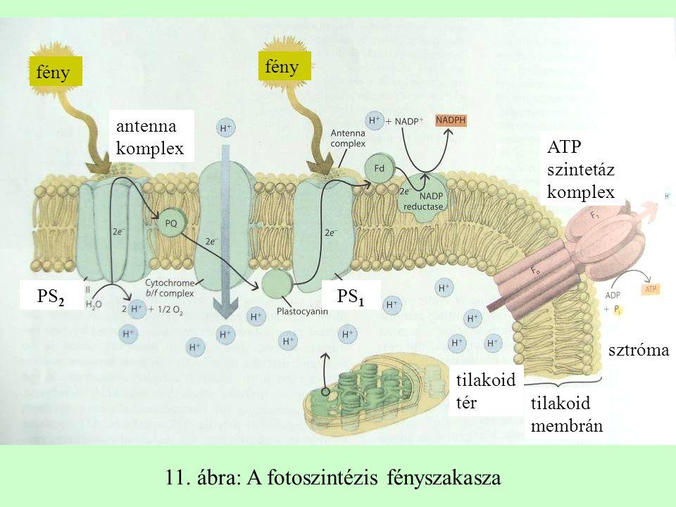 fény antenna komplex PS 2 PS 1 tilakoid tér ATP szintetáz komplex fény tilakoid membrán sztróma 11. ábra: A fotoszintézis fényszakasza