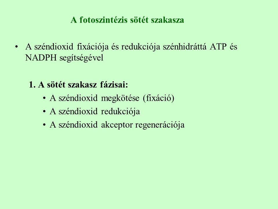 A fotoszintézis sötét szakasza A széndioxid fixációja és redukciója szénhidráttá ATP és NADPH segítségével 1. A sötét szakasz fázisai: A széndioxid me