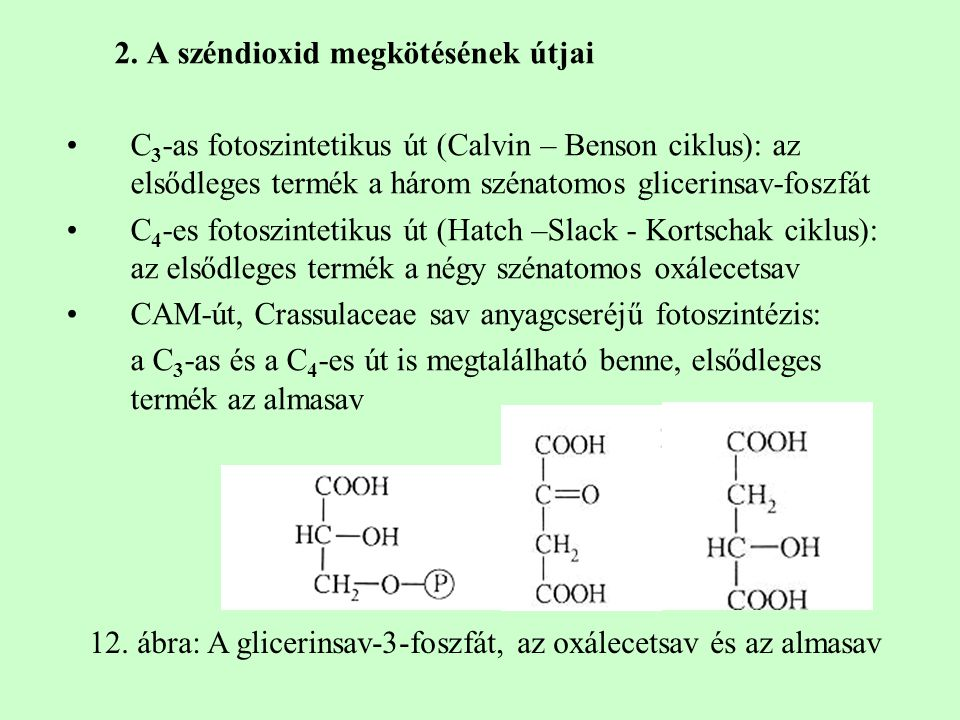 2. A széndioxid megkötésének útjai C 3 -as fotoszintetikus út (Calvin – Benson ciklus): az elsődleges termék a három szénatomos glicerinsav-foszfát C