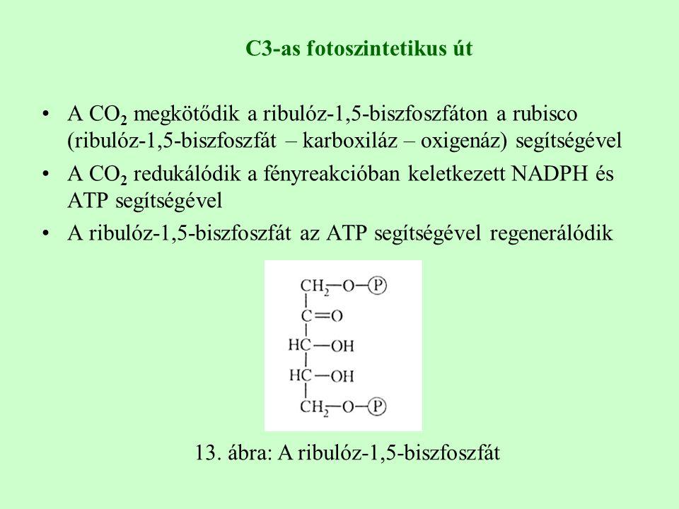 C3-as fotoszintetikus út A CO 2 megkötődik a ribulóz-1,5-biszfoszfáton a rubisco (ribulóz-1,5-biszfoszfát – karboxiláz – oxigenáz) segítségével A CO 2 redukálódik a fényreakcióban keletkezett NADPH és ATP segítségével A ribulóz-1,5-biszfoszfát az ATP segítségével regenerálódik 13.