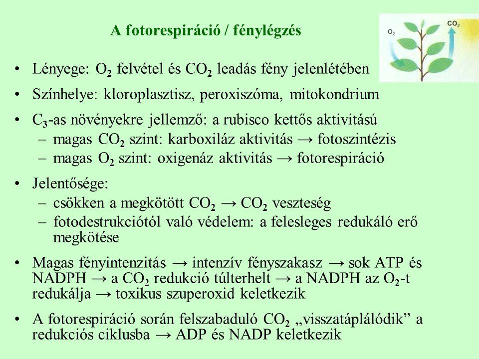 """A fotorespiráció / fénylégzés Lényege: O 2 felvétel és CO 2 leadás fény jelenlétében Színhelye: kloroplasztisz, peroxiszóma, mitokondrium C 3 -as növényekre jellemző: a rubisco kettős aktivitású –magas CO 2 szint: karboxiláz aktivitás → fotoszintézis –magas O 2 szint: oxigenáz aktivitás → fotorespiráció Jelentősége: –csökken a megkötött CO 2 → CO 2 veszteség –fotodestrukciótól való védelem: a felesleges redukáló erő megkötése Magas fényintenzitás → intenzív fényszakasz → sok ATP és NADPH → a CO 2 redukció túlterhelt → a NADPH az O 2 -t redukálja → toxikus szuperoxid keletkezik A fotorespiráció során felszabaduló CO 2 """"visszatáplálódik a redukciós ciklusba → ADP és NADP keletkezik"""