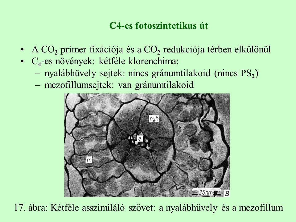 C4-es fotoszintetikus út A CO 2 primer fixációja és a CO 2 redukciója térben elkülönül C 4 -es növények: kétféle klorenchima: –nyalábhüvely sejtek: nincs gránumtilakoid (nincs PS 2 ) –mezofillumsejtek: van gránumtilakoid 17.
