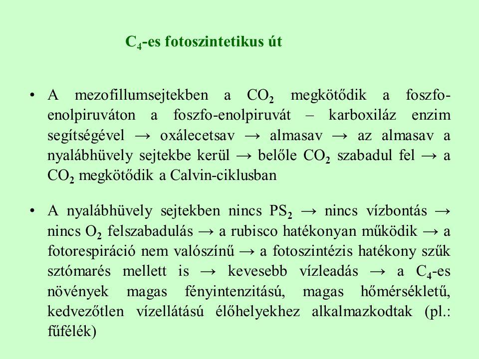 C 4 -es fotoszintetikus út A mezofillumsejtekben a CO 2 megkötődik a foszfo- enolpiruváton a foszfo-enolpiruvát – karboxiláz enzim segítségével → oxálecetsav → almasav → az almasav a nyalábhüvely sejtekbe kerül → belőle CO 2 szabadul fel → a CO 2 megkötődik a Calvin-ciklusban A nyalábhüvely sejtekben nincs PS 2 → nincs vízbontás → nincs O 2 felszabadulás → a rubisco hatékonyan működik → a fotorespiráció nem valószínű → a fotoszintézis hatékony szűk sztómarés mellett is → kevesebb vízleadás → a C 4 -es növények magas fényintenzitású, magas hőmérsékletű, kedvezőtlen vízellátású élőhelyekhez alkalmazkodtak (pl.: fűfélék)