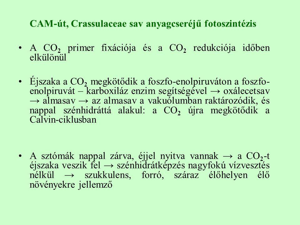CAM-út, Crassulaceae sav anyagcseréjű fotoszintézis A CO 2 primer fixációja és a CO 2 redukciója időben elkülönül Éjszaka a CO 2 megkötődik a foszfo-enolpiruváton a foszfo- enolpiruvát – karboxiláz enzim segítségével → oxálecetsav → almasav → az almasav a vakuólumban raktározódik, és nappal szénhidráttá alakul: a CO 2 újra megkötődik a Calvin-ciklusban A sztómák nappal zárva, éjjel nyitva vannak → a CO 2 -t éjszaka veszik fel → szénhidrátképzés nagyfokú vízvesztés nélkül → szukkulens, forró, száraz élőhelyen élő növényekre jellemző