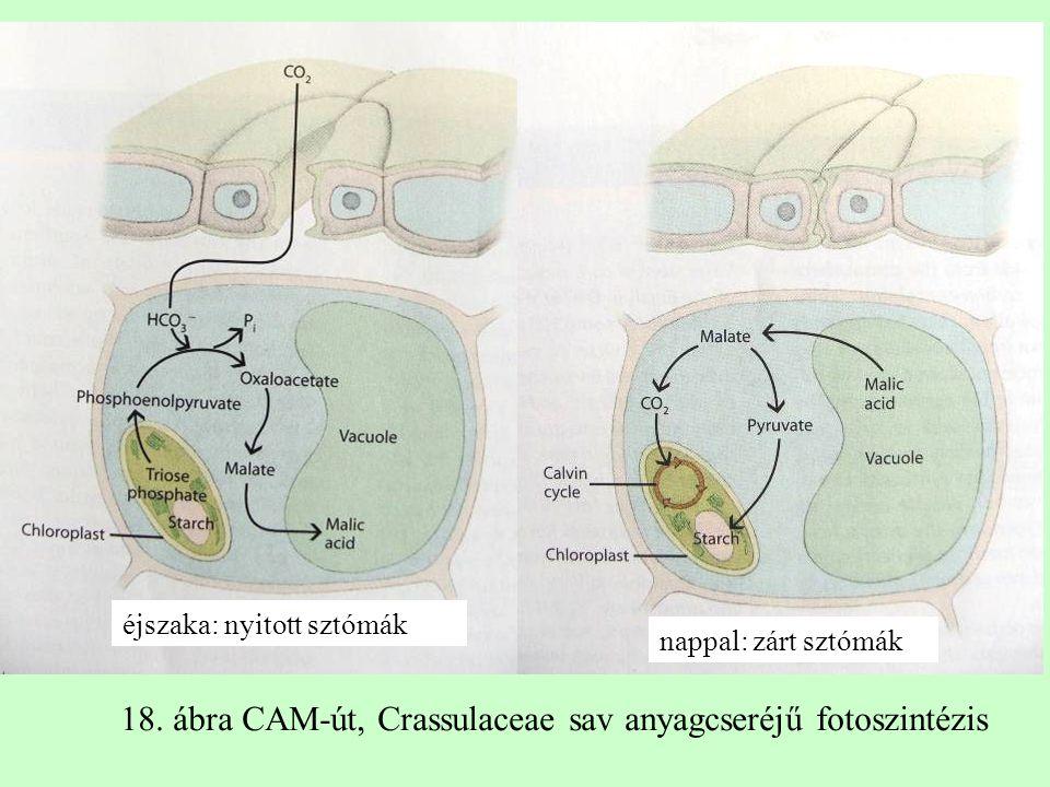éjszaka: nyitott sztómák nappal: zárt sztómák 18. ábra CAM-út, Crassulaceae sav anyagcseréjű fotoszintézis