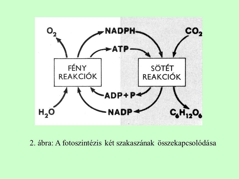 2. ábra: A fotoszintézis két szakaszának összekapcsolódása