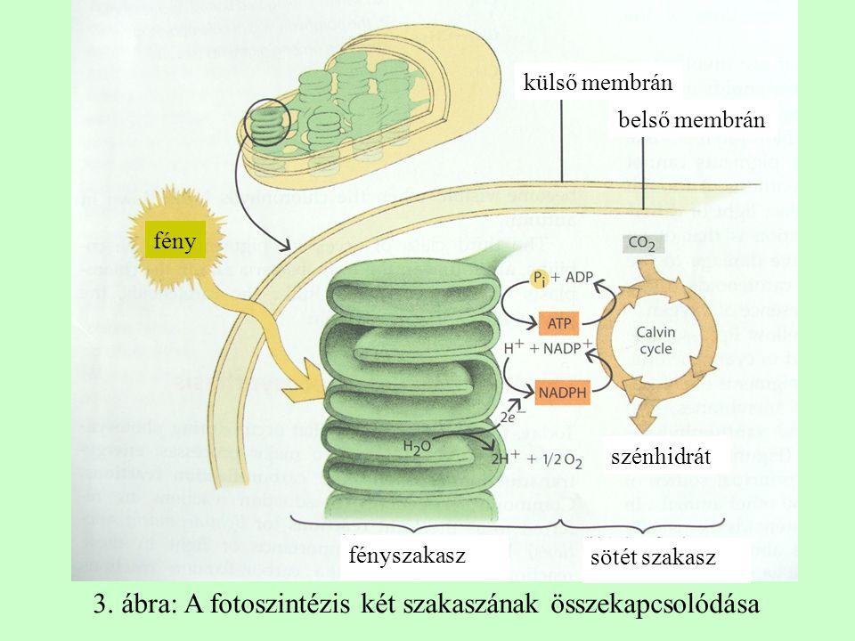 fény fényszakasz szénhidrát külső membrán belső membrán sötét szakasz 3. ábra: A fotoszintézis két szakaszának összekapcsolódása