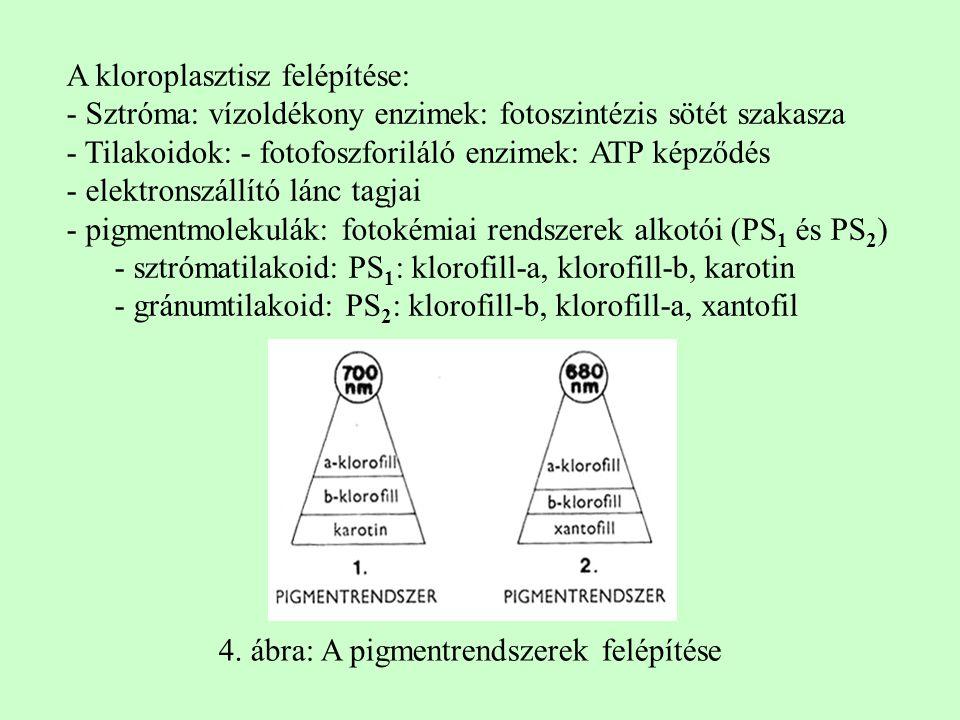 A kloroplasztisz felépítése: - Sztróma: vízoldékony enzimek: fotoszintézis sötét szakasza - Tilakoidok: - fotofoszforiláló enzimek: ATP képződés - elektronszállító lánc tagjai - pigmentmolekulák: fotokémiai rendszerek alkotói (PS 1 és PS 2 ) - sztrómatilakoid: PS 1 : klorofill-a, klorofill-b, karotin - gránumtilakoid: PS 2 : klorofill-b, klorofill-a, xantofil 4.