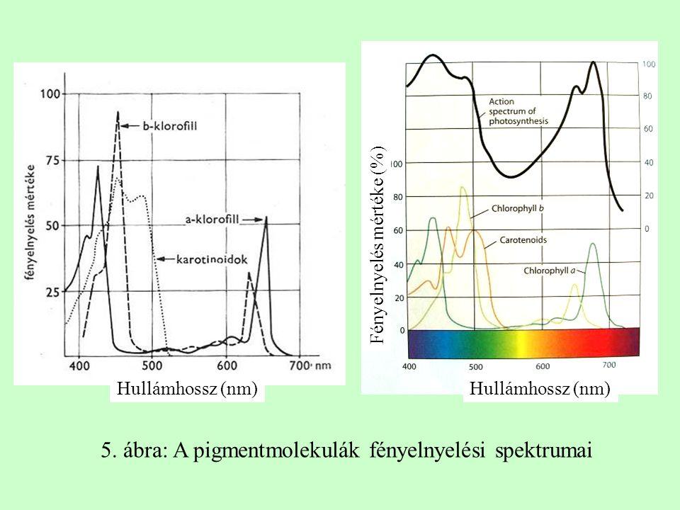 Hullámhossz (nm) Fényelnyelés mértéke (%)Hullámhossz (nm) 5. ábra: A pigmentmolekulák fényelnyelési spektrumai