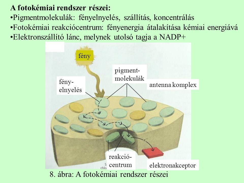 A fotokémiai rendszer részei: Pigmentmolekulák: fényelnyelés, szállítás, koncentrálás Fotokémiai reakciócentrum: fényenergia átalakítása kémiai energi