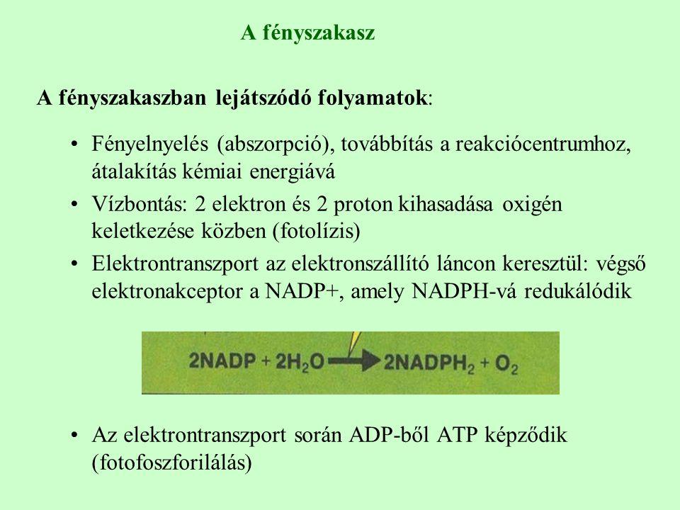 A fényszakasz A fényszakaszban lejátszódó folyamatok: Fényelnyelés (abszorpció), továbbítás a reakciócentrumhoz, átalakítás kémiai energiává Vízbontás: 2 elektron és 2 proton kihasadása oxigén keletkezése közben (fotolízis) Elektrontranszport az elektronszállító láncon keresztül: végső elektronakceptor a NADP+, amely NADPH-vá redukálódik Az elektrontranszport során ADP-ből ATP képződik (fotofoszforilálás)