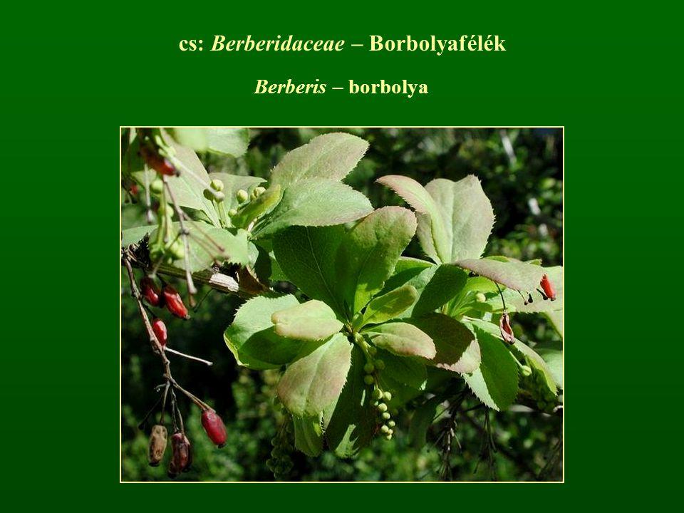 cs: Berberidaceae – Borbolyafélék Berberis – borbolya