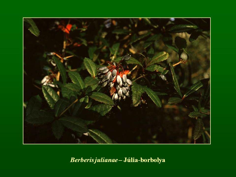 Berberis julianae – Júlia-borbolya