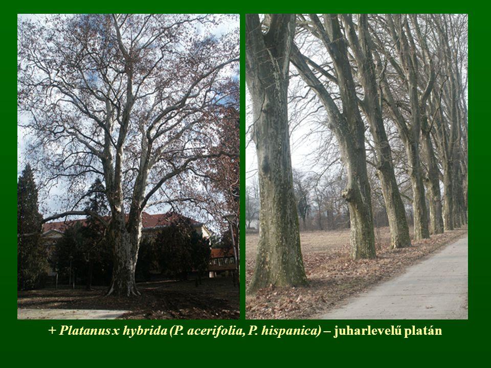 + Platanus x hybrida (P. acerifolia, P. hispanica) – juharlevelű platán