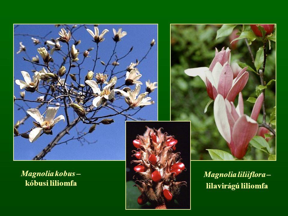 Magnolia liliiflora – lilavirágú liliomfa Magnolia kobus – kóbusi liliomfa