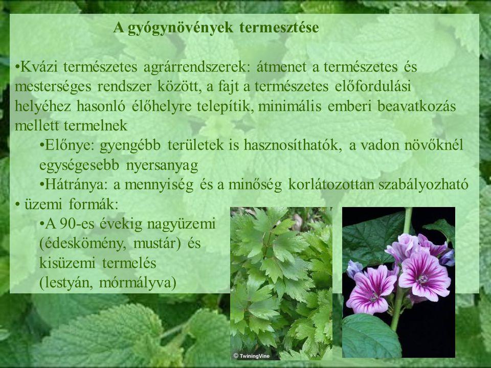A gyógynövények termesztése Kvázi természetes agrárrendszerek: átmenet a természetes és mesterséges rendszer között, a fajt a természetes előfordulási helyéhez hasonló élőhelyre telepítik, minimális emberi beavatkozás mellett termelnek Előnye: gyengébb területek is hasznosíthatók, a vadon növőknél egységesebb nyersanyag Hátránya: a mennyiség és a minőség korlátozottan szabályozható üzemi formák: A 90-es évekig nagyüzemi (édeskömény, mustár) és kisüzemi termelés (lestyán, mórmályva)