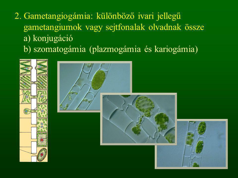 2. Gametangiogámia: különböző ivari jellegű gametangiumok vagy sejtfonalak olvadnak össze a) konjugáció b) szomatogámia (plazmogámia és kariogámia)