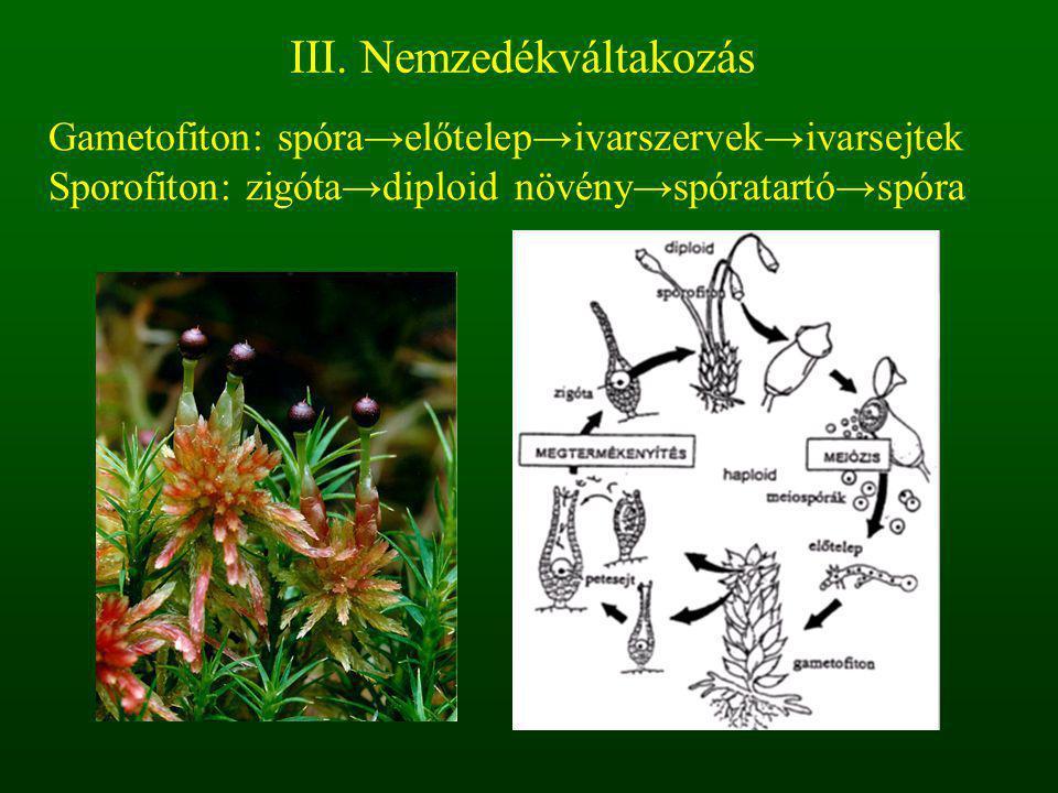 Gametofiton: spóra→előtelep→ivarszervek→ivarsejtek Sporofiton: zigóta→diploid növény→spóratartó→spóra III. Nemzedékváltakozás