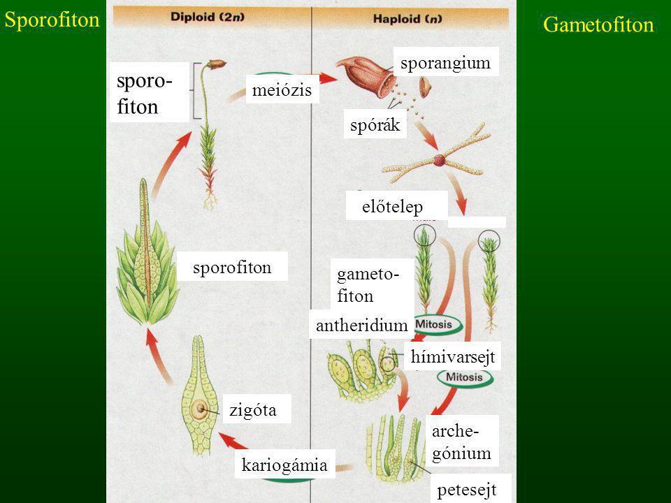 meiózis sporangium spórák antheridium előtelep gameto- fiton sporofiton arche- gónium zigóta kariogámia sporo- fiton hímivarsejt petesejt Gametofiton