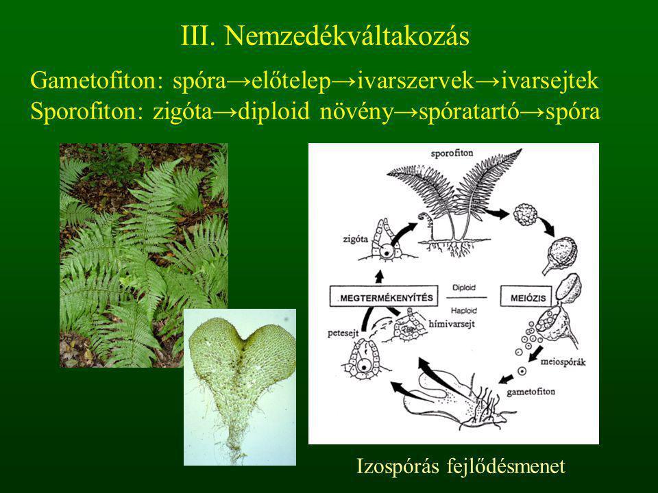 Gametofiton: spóra→előtelep→ivarszervek→ivarsejtek Sporofiton: zigóta→diploid növény→spóratartó→spóra III. Nemzedékváltakozás Izospórás fejlődésmenet