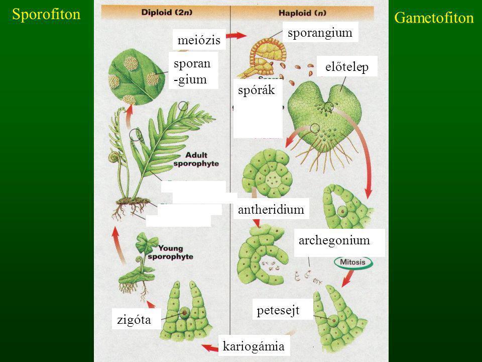meiózis kariogámia spórák antheridium archegonium sporangium előtelep zigóta sporan -gium petesejt Gametofiton Sporofiton