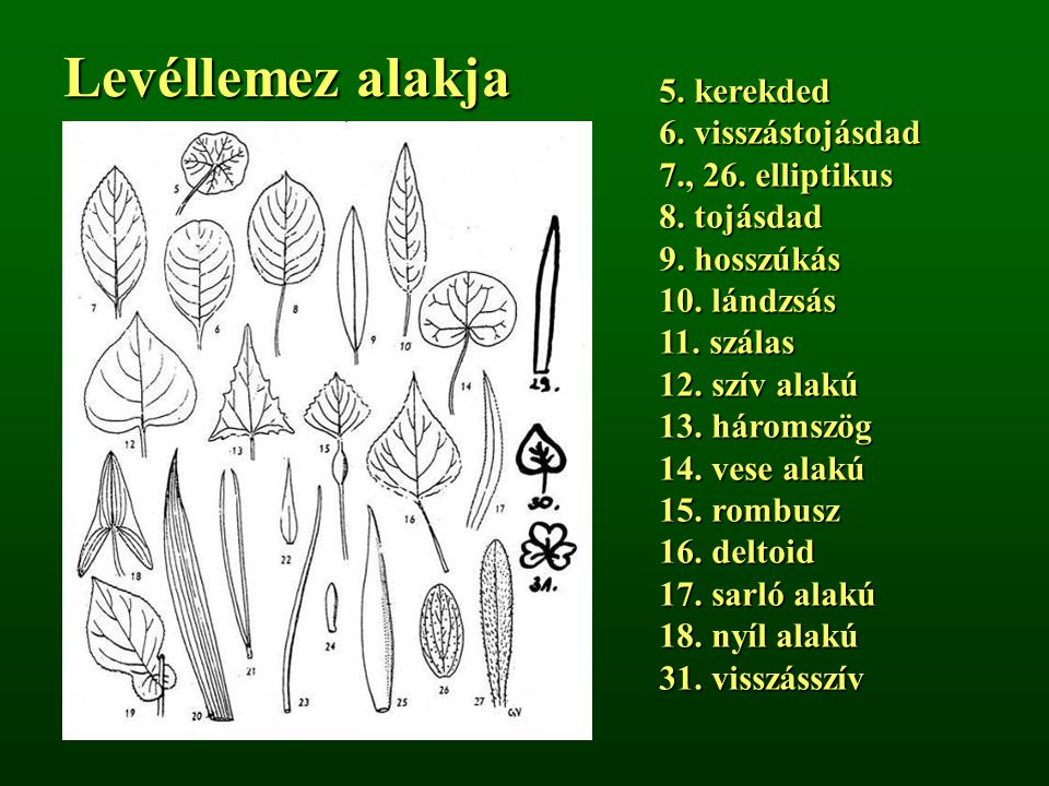 Levéllemez alakja 5. kerekded 6. visszástojásdad 7., 26. elliptikus 8. tojásdad 9. hosszúkás 10. lándzsás 11. szálas 12. szív alakú 13. háromszög 14.