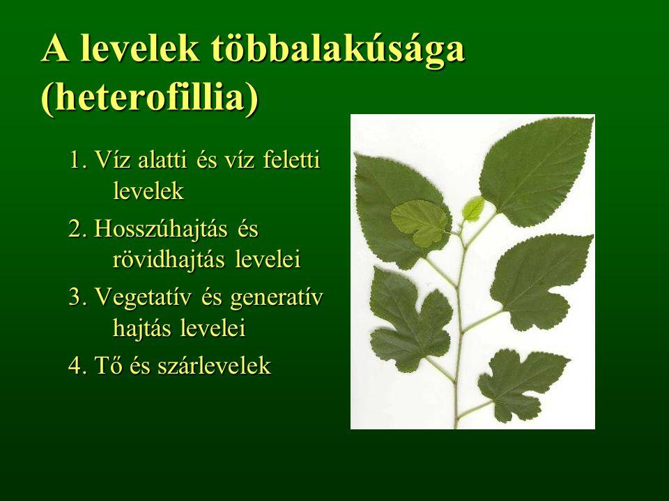 A levelek többalakúsága (heterofillia) 1. Víz alatti és víz feletti levelek 2. Hosszúhajtás és rövidhajtás levelei 3. Vegetatív és generatív hajtás le