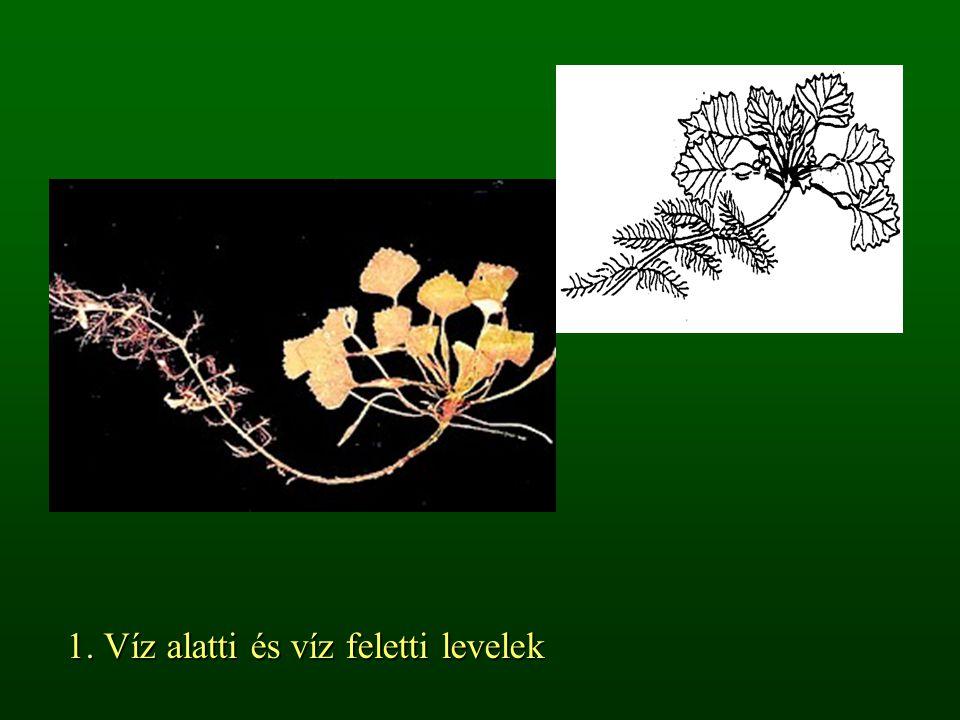 1. Víz alatti és víz feletti levelek