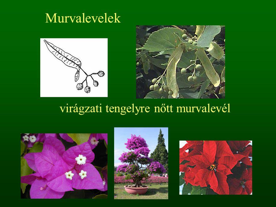 virágzati tengelyre nőtt murvalevél Murvalevelek
