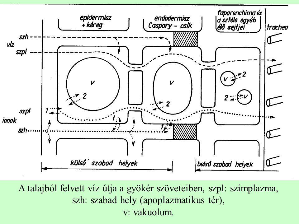 A talajból felvett víz útja a gyökér szöveteiben, szpl: szimplazma, szh: szabad hely (apoplazmatikus tér), v: vakuolum.