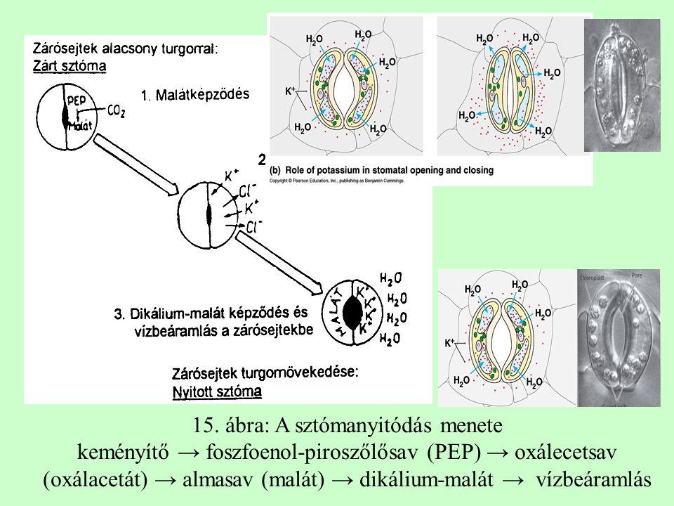 15. ábra: A sztómanyitódás menete keményítő → foszfoenol-piroszőlősav (PEP) → oxálecetsav (oxálacetát) → almasav (malát) → dikálium-malát → vízbeáraml