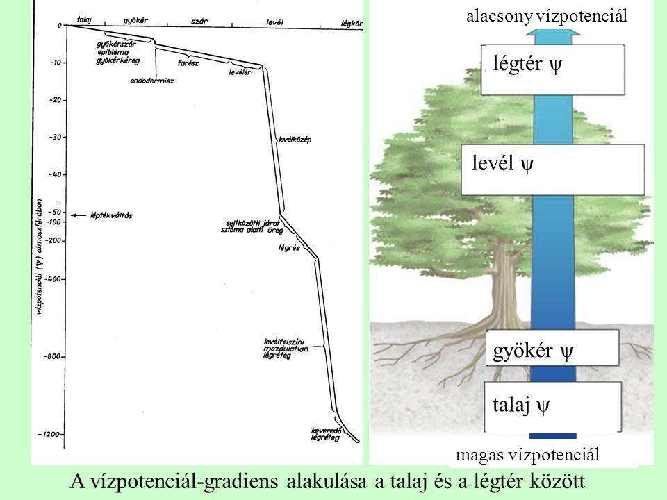 gyökér légtér ψ = -10 -100 MPa törzs ψ = -0,8 MPa gyökér ψ = -0,6 MPa vízpotenciál grádiens gyökér vízmolekula gyökérszőr talajrészecske víz adhézió sejtfal kohézió talaj ψ = -0,3 MPa levél ψ = -1,0 MPa xylém levél légtér vízmolekula sztóma mezofillum xylém