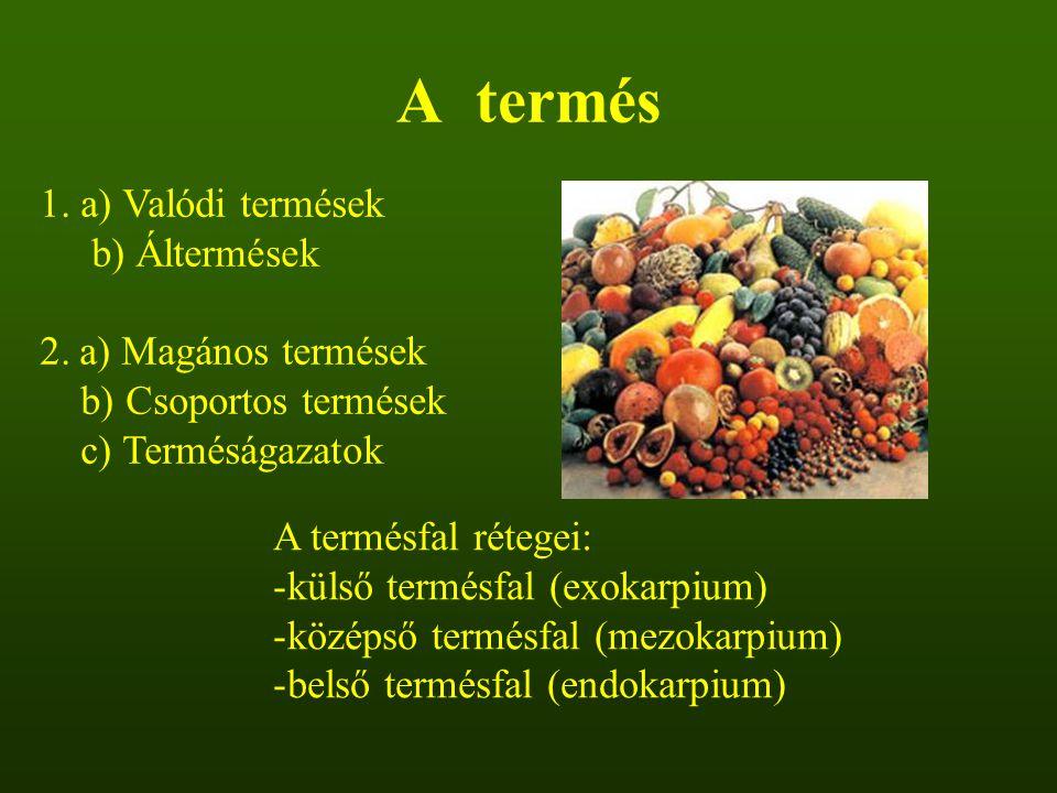 A termés 1. a) Valódi termések b) Áltermések 2.a) Magános termések b) Csoportos termések c) Terméságazatok A termésfal rétegei: -külső termésfal (exok