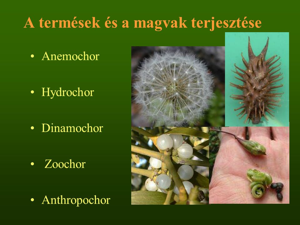 A termések és a magvak terjesztése Anemochor Hydrochor Dinamochor Zoochor Anthropochor