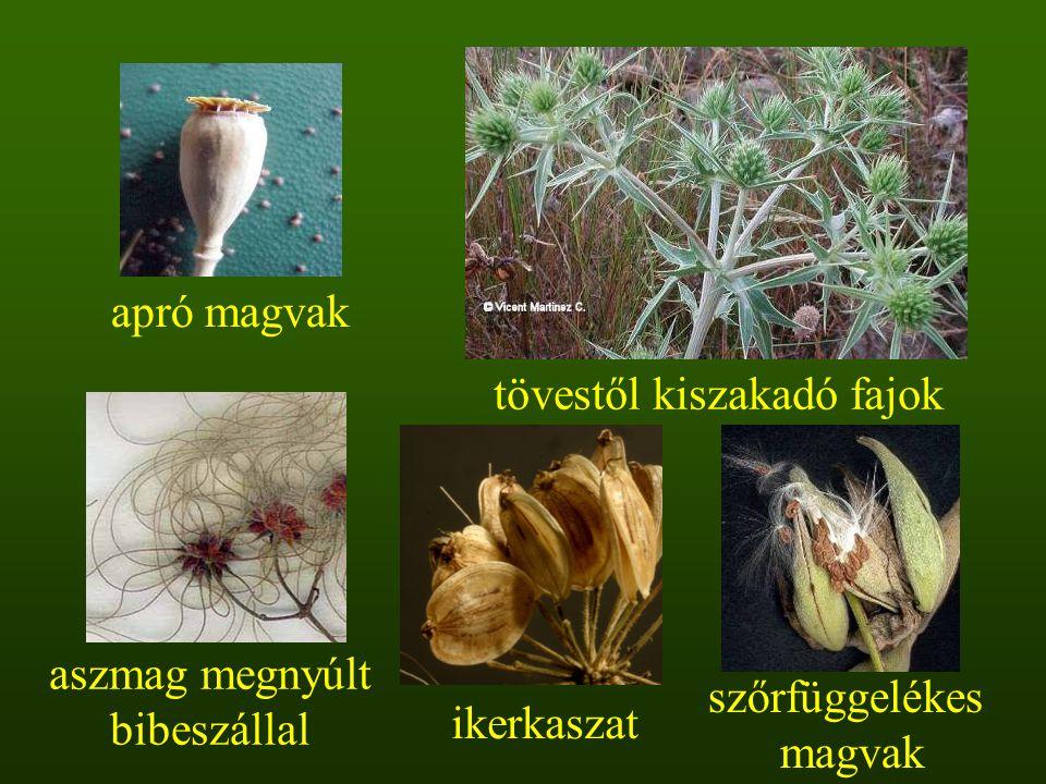 aszmag megnyúlt bibeszállal tövestől kiszakadó fajok apró magvak szőrfüggelékes magvak ikerkaszat