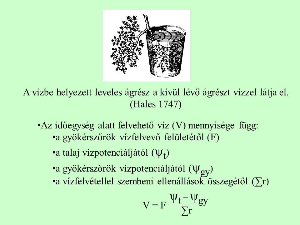 Az időegység alatt felvehető víz (V) mennyisége függ: a gyökérszőrök vízfelvevő felületétől (F) a talaj vízpotenciáljától ( ψ t ) a gyökérszőrök vízpotenciáljától ( ψ gy ) a vízfelvétellel szembeni ellenállások összegétől (∑r) V = F A vízbe helyezett leveles ágrész a kívül lévő ágrészt vízzel látja el.