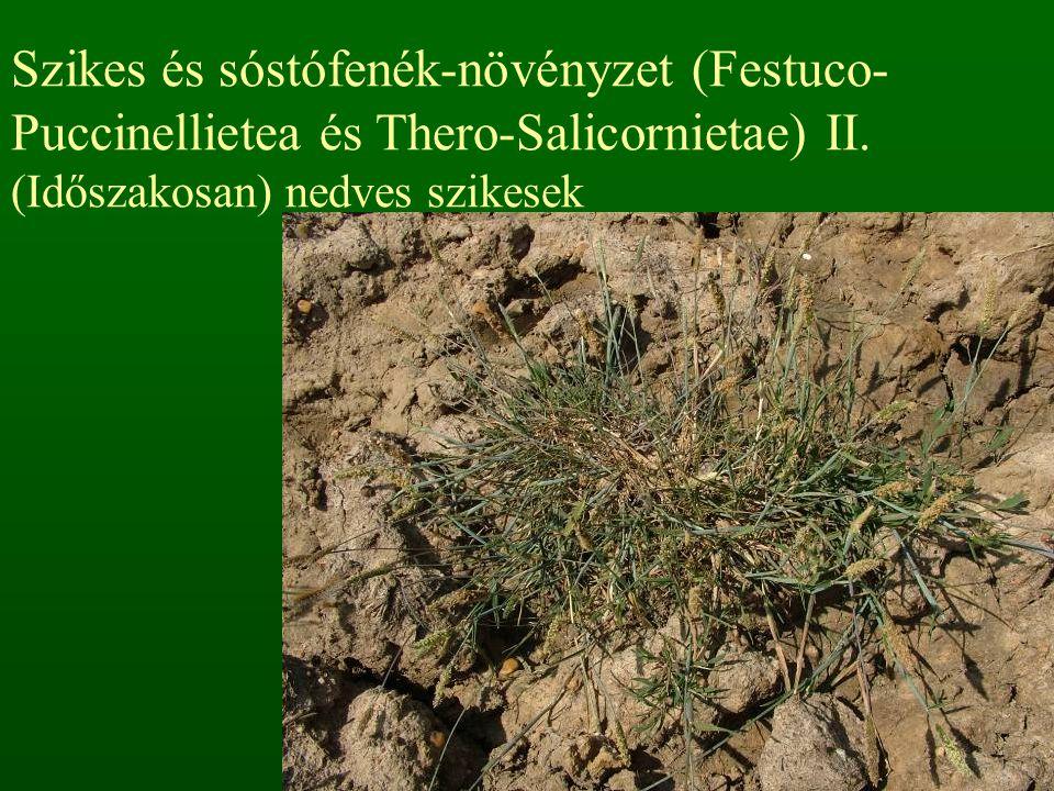 Szikes és sóstófenék-növényzet (Festuco- Puccinellietea és Thero-Salicornietae) II.