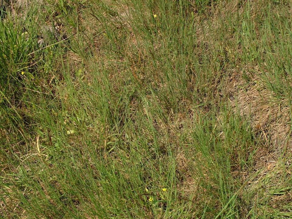 Mészkerülő pionír gyepek (Koelerio- Corynephoretea)