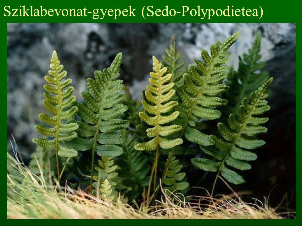 Sziklabevonat-gyepek (Sedo-Polypodietea)