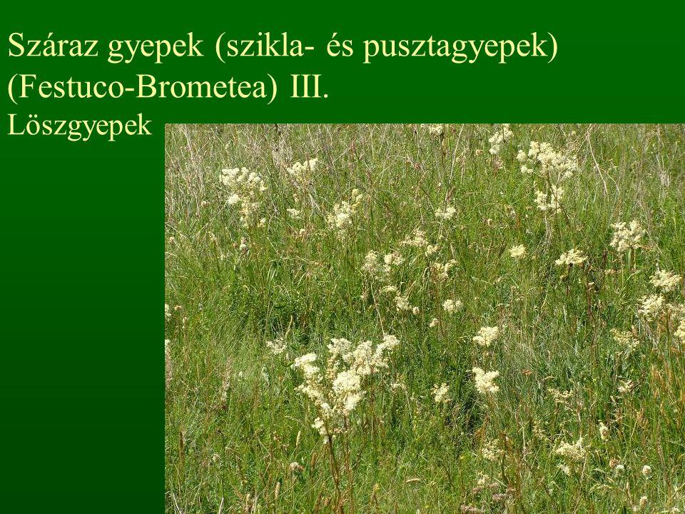 Száraz gyepek (szikla- és pusztagyepek) (Festuco-Brometea) III. Löszgyepek