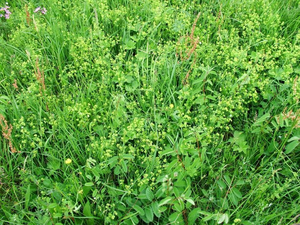 Gyomnövényzet IV. Üde gyomnövényzet (szegélynövényzet) (Galio-Urticetea)