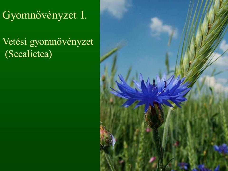 Gyomnövényzet I. Vetési gyomnövényzet (Secalietea)