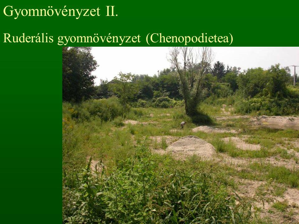 Gyomnövényzet II. Ruderális gyomnövényzet (Chenopodietea)