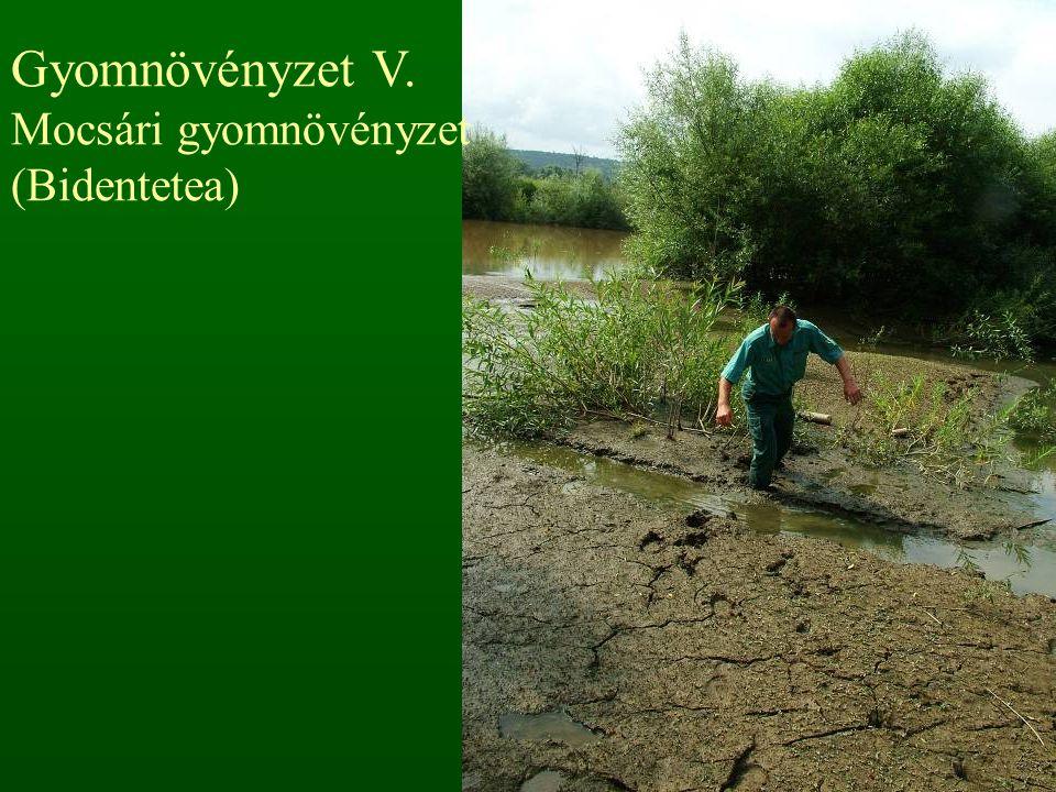 Gyomnövényzet V. Mocsári gyomnövényzet (Bidentetea)