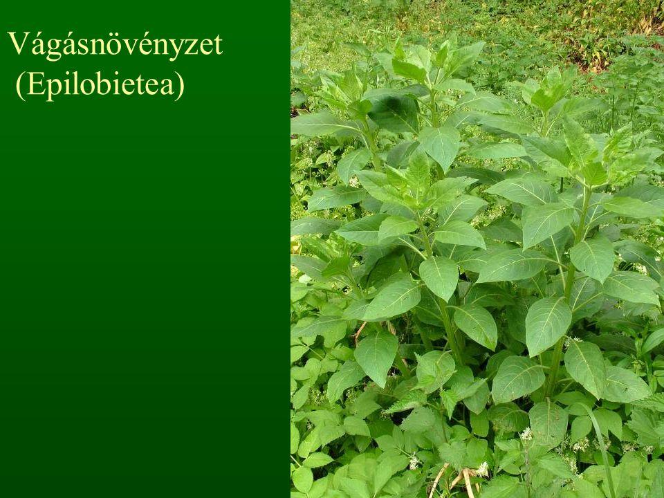 Vágásnövényzet (Epilobietea)