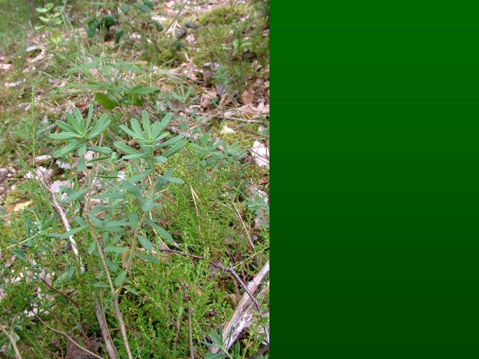 Gyomnövényzet VI. Taposott gyomnövényzet (Plantaginetea)