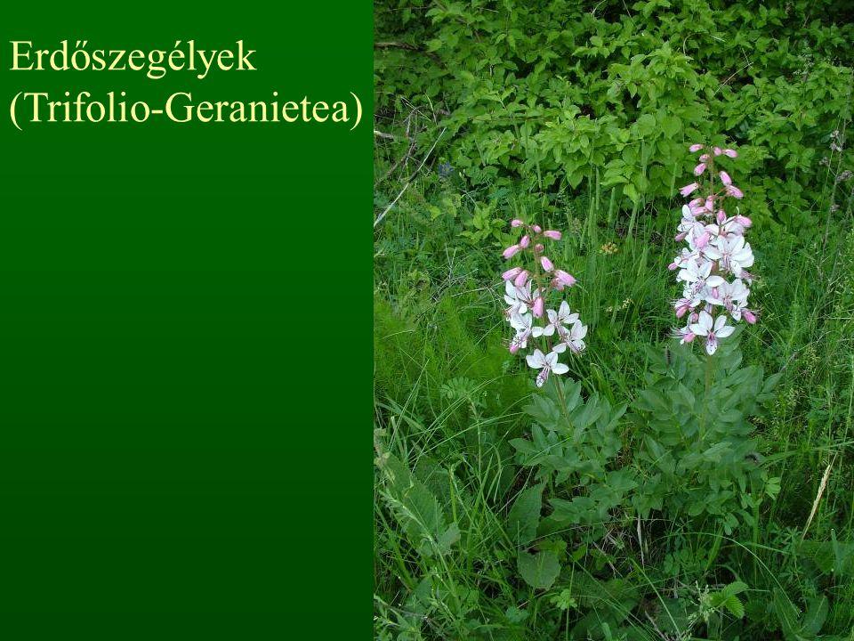 Erdőszegélyek (Trifolio-Geranietea)