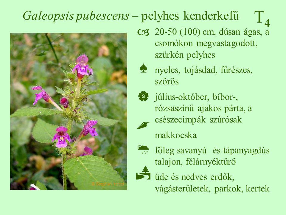 T4T4 Galeopsis pubescens – pelyhes kenderkefű ♠♠ 20-50 (100) cm, dúsan ágas, a csomókon megvastagodott, szürkén pelyhes nyeles, tojásdad, fű